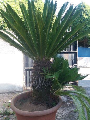 Palmeira cyca fêmea