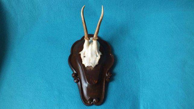 Zabytkowe małe trofeum poroże jelenia z czaszką nr1 Rogi dł. 11cm