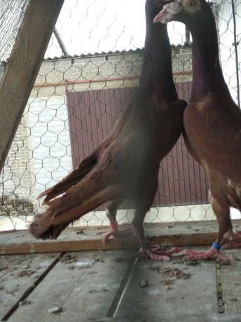 Gołębie ozdobne kariery para