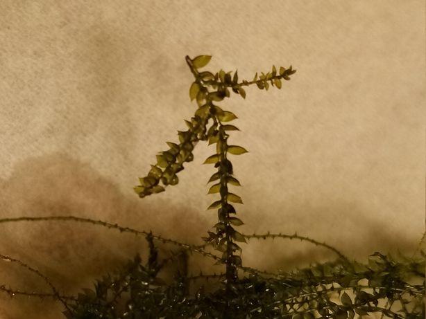 mech pnący Creeping moss (Vesicularia sp.)