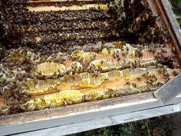 Пчёлы ! пчелопакеты ! бджоли
