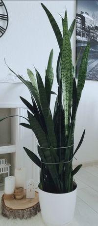 Sansawieria 130 cm
