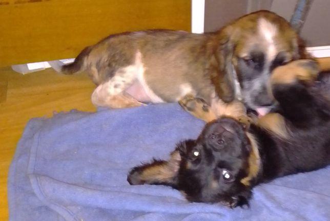 Спаниель-метис, щенок 3 месяца. Привит.
