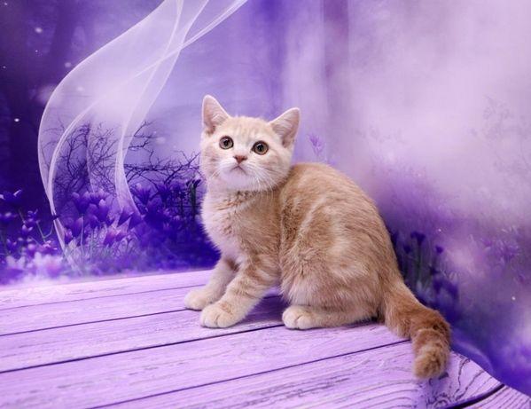 Котик породистый
