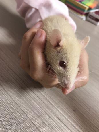 Крыса 2 месяца