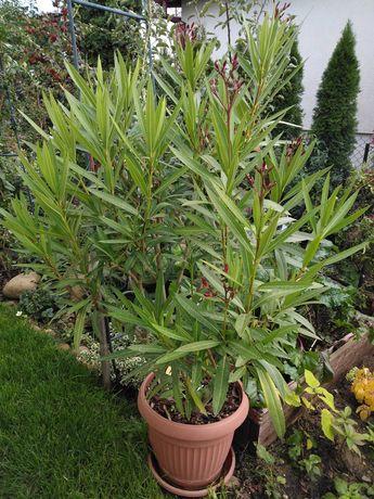 Oleander czerwono ròżowy