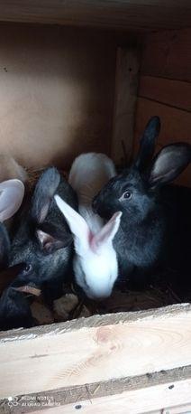 Sprzedam młode króliki na chów