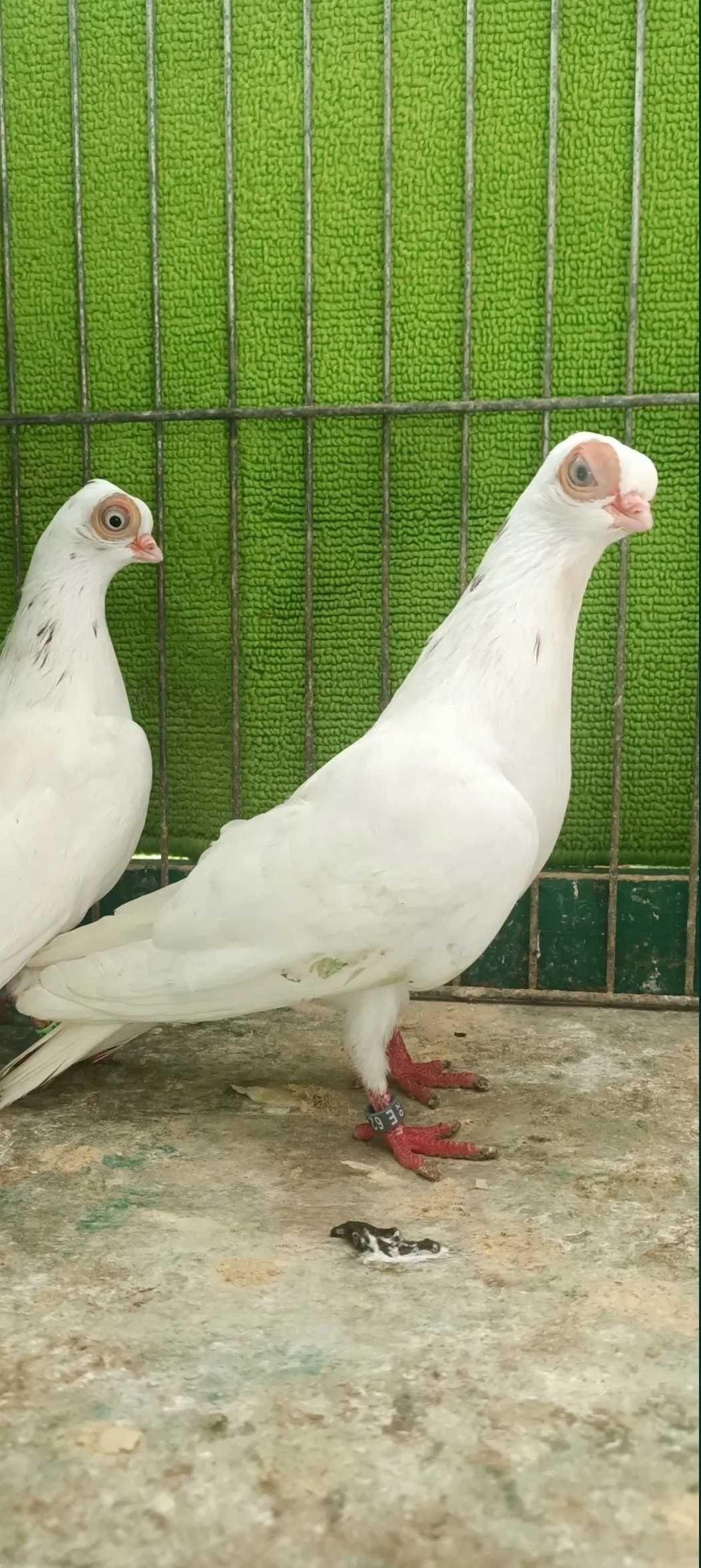 Maściuch, maściuchy - gołębie ozdobne