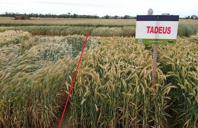 FLORES-NASIONA zbóż PSZENŻYTO ozime C1: Tadeus Rotondo