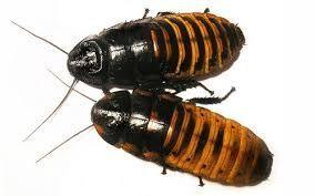 Тараканы мадагаскарские шипящие (Gromphadorhina portentosa)