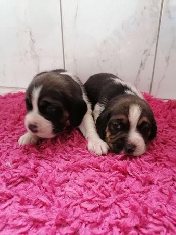 Śliczne szczeniaki Beagle