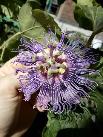 Семена пассифлора инкарната, маракок.