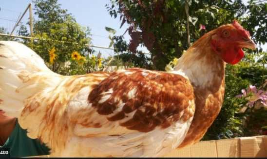 яйця для інкубації кури Геркулес