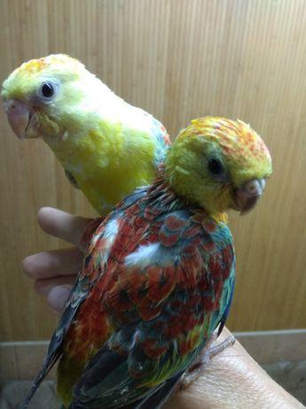 Ручной малыш - певчий попугай редкого окраса