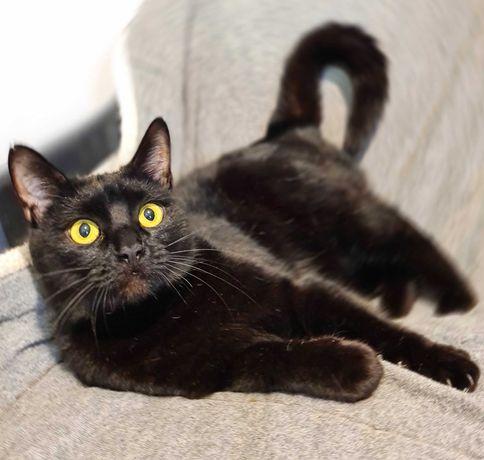 Греція чорна молода кішка шукає сім'ю, 1 рік (стерилізована)