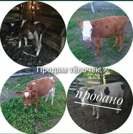 Тёлка, корова, теленок