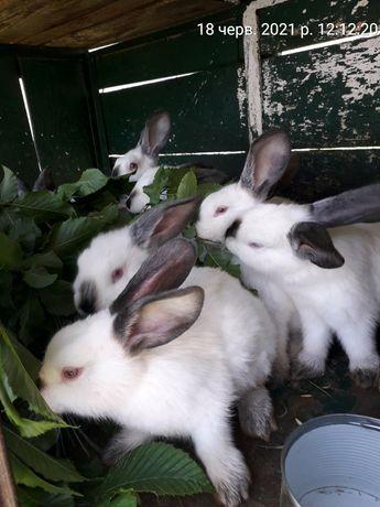 Кролики 2.5 місяців порода каліфорнія кролиця кріль кролик