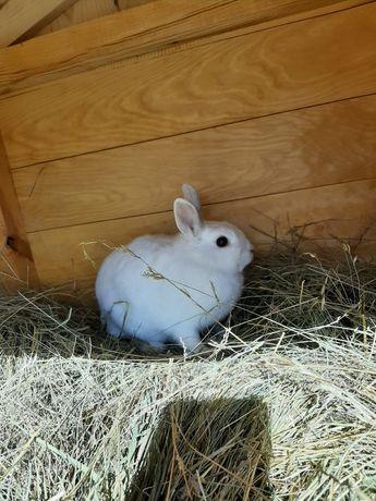 Oddam królika samiczke