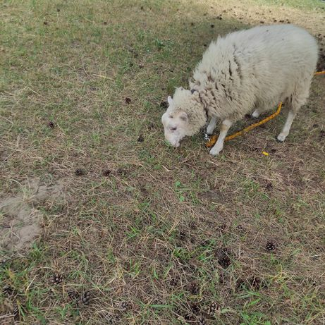 Sprzedaję owcę kto Ce mieć owcę
