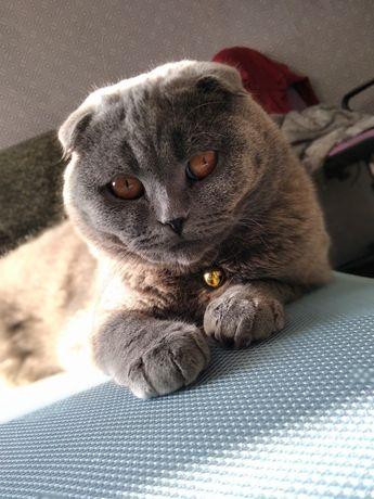 Британський Котик шукає подружку