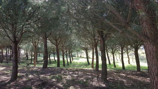 Eucaliptos e pinheiros para corte em Alcoentre