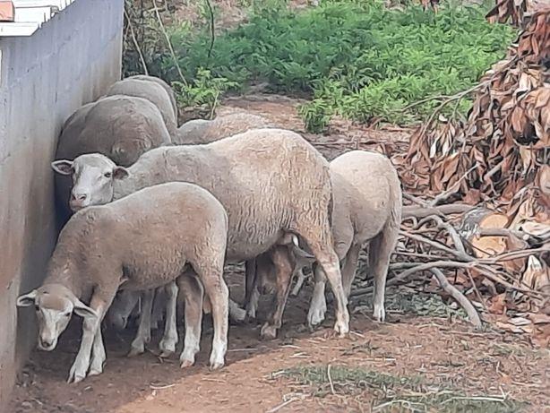 Vendo ovelhas com 8 meses.............................................