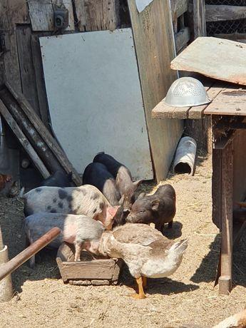 Продам китайских свиней
