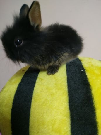 Кролик карликовый миниатюрный цветной голден бани