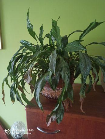 Кімнатна рослина