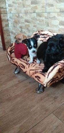Pieski Chihuahua