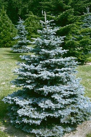 Świerk Kłujący (Picea Pungens) wysokość 180-220 cm- z gruntu