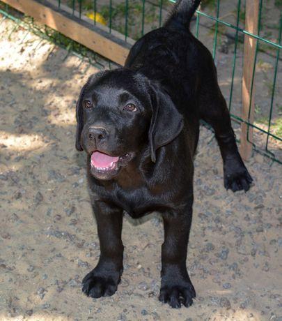 щенок лабрадора черная жемчужина