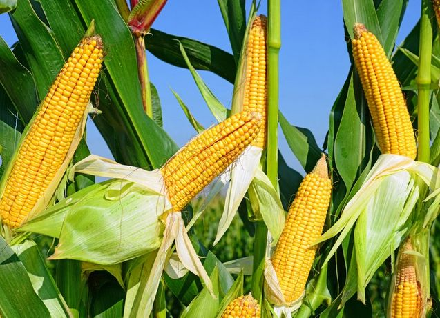 Nasiona kukurydzy SY Pandoras Fao 240 50 tysięcy nasion