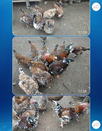 Продам інкубаційні яйця курей породи лівенська ситцева, срібний адлер