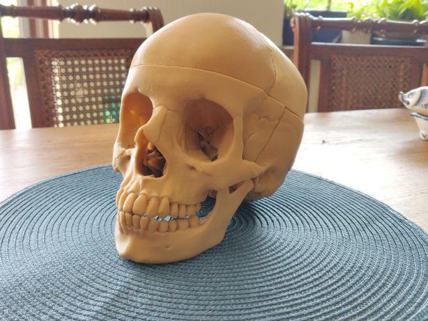 Czaszka Człowieka, Dokładny Model Czaszki, Anatomia