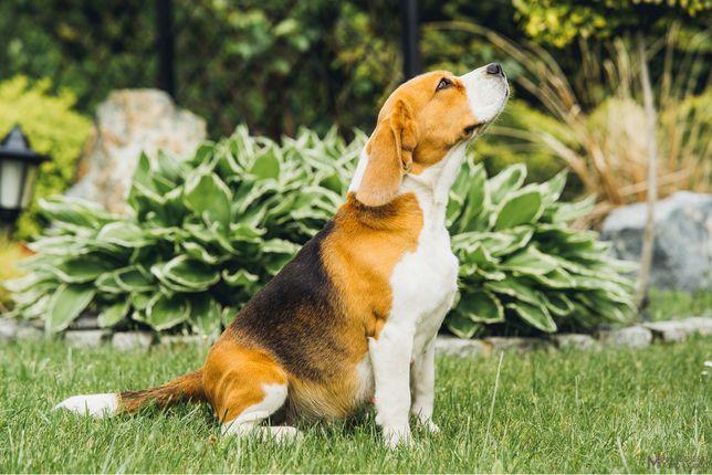 Beagle ZKwP szczeniaki