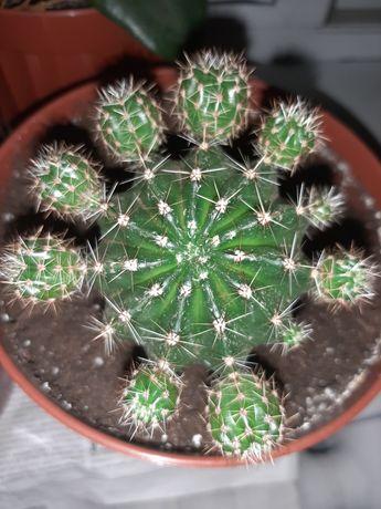 Продам кактусиков