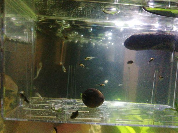 Peixe Alevino Molinesia (Molly)