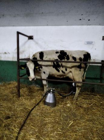 Sprzedam krowy mleczne