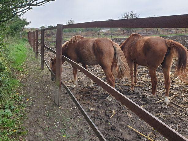 Кінь (кобили) Новоолександрівський Ваговоз коні ваговози