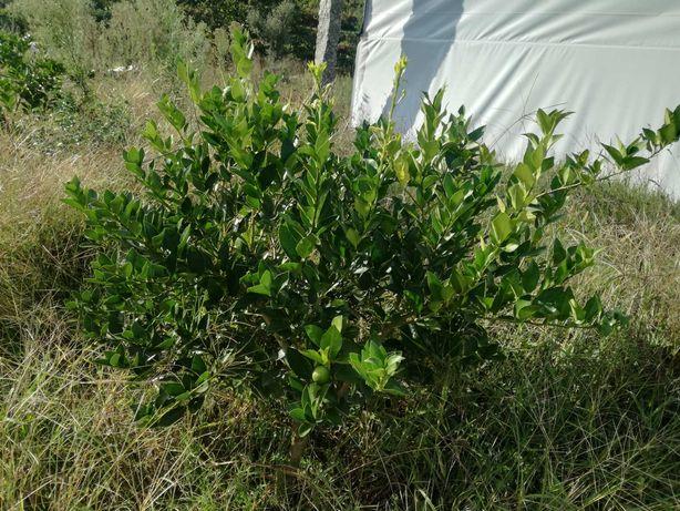 Limeira, árvore das limas