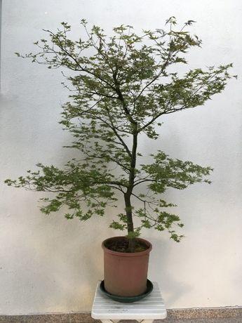 Acer palmatum de 1,3m e 15~20 anos de idade