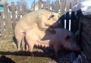 Услуги хряка, осеменение свиноматок
