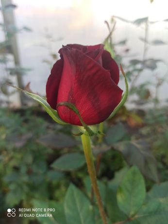Продам кусты роз.
