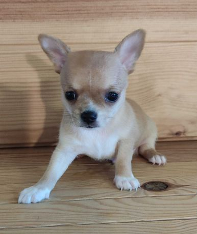 Chihuahua Macho Miniatura Beje