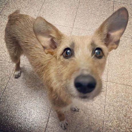 Cão / cadela esterilizada adoção