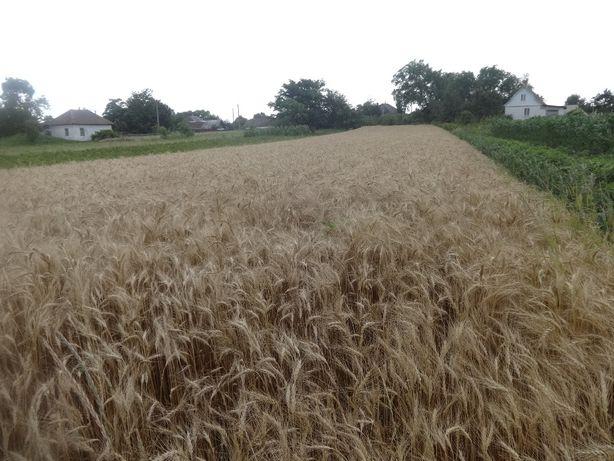 Ячмень и Пшеница и Кукуруза Овес
