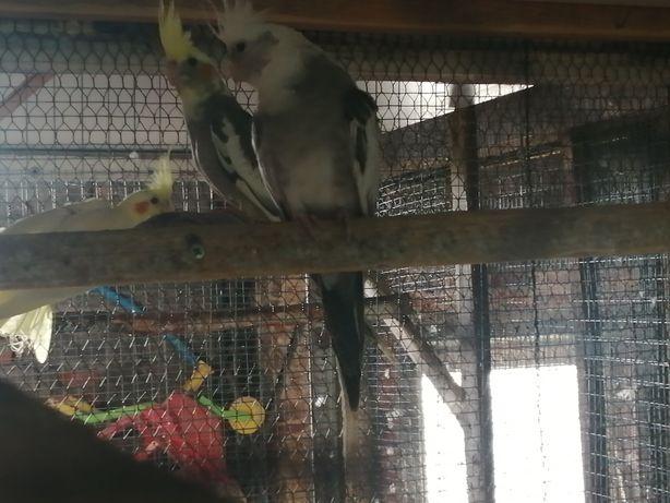 Para lęgowa papugi  nimfy