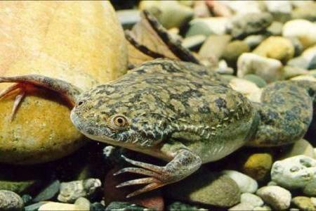 ОБМЕН Аквариумная жабка лягушка обмен