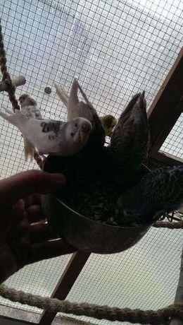 Sprzedam papugi faliste  młode 2021 idealne do oswojenia oraz nimfy